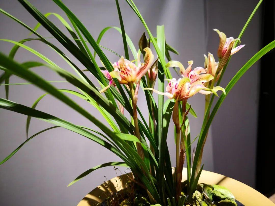 春已至,花已开,购买兰花正当时图片