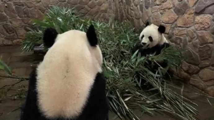 没新鲜竹子吃了,旅加大熊猫提前回国