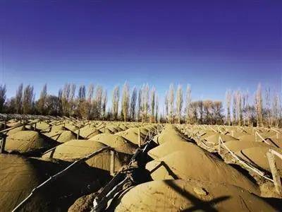 被砍伐的林地大多已完成起垄和整架,用于葡萄种植。图据经济参考报