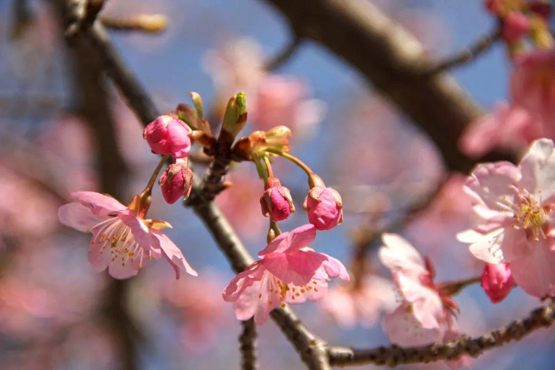 """大渔樱""""超车""""进入盛花,开启早樱花时段"""
