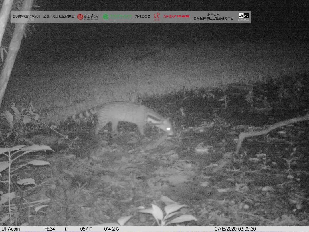 孟连红外相机拍到的大灵猫