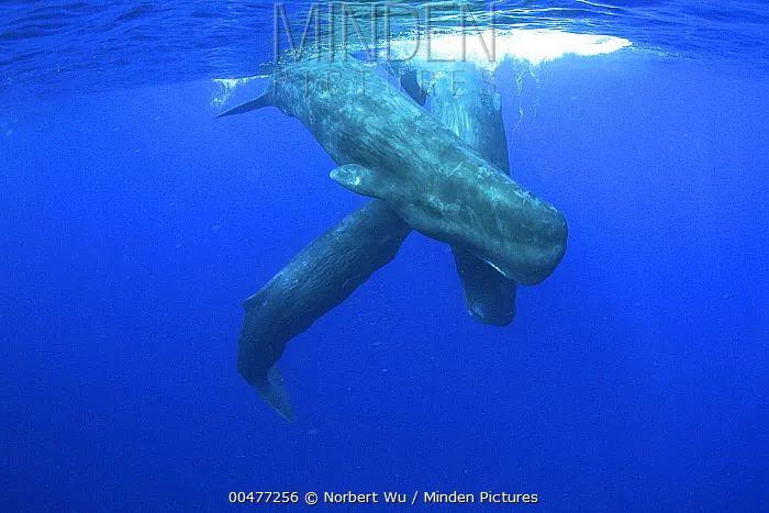 抹香鲸 图片来源见水印