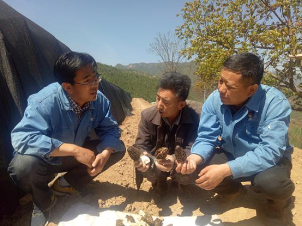赵宣安(右一)在田间了解羊肚菌收成。