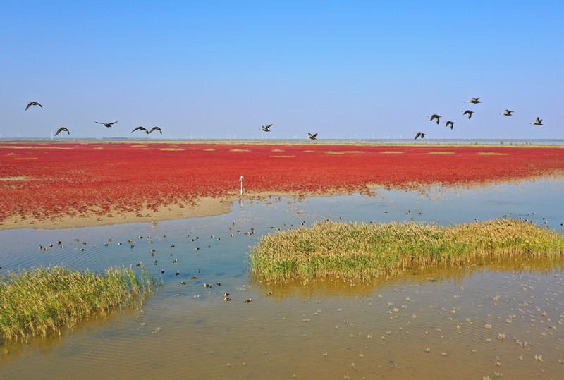 """条子泥湿地""""红地毯"""""""