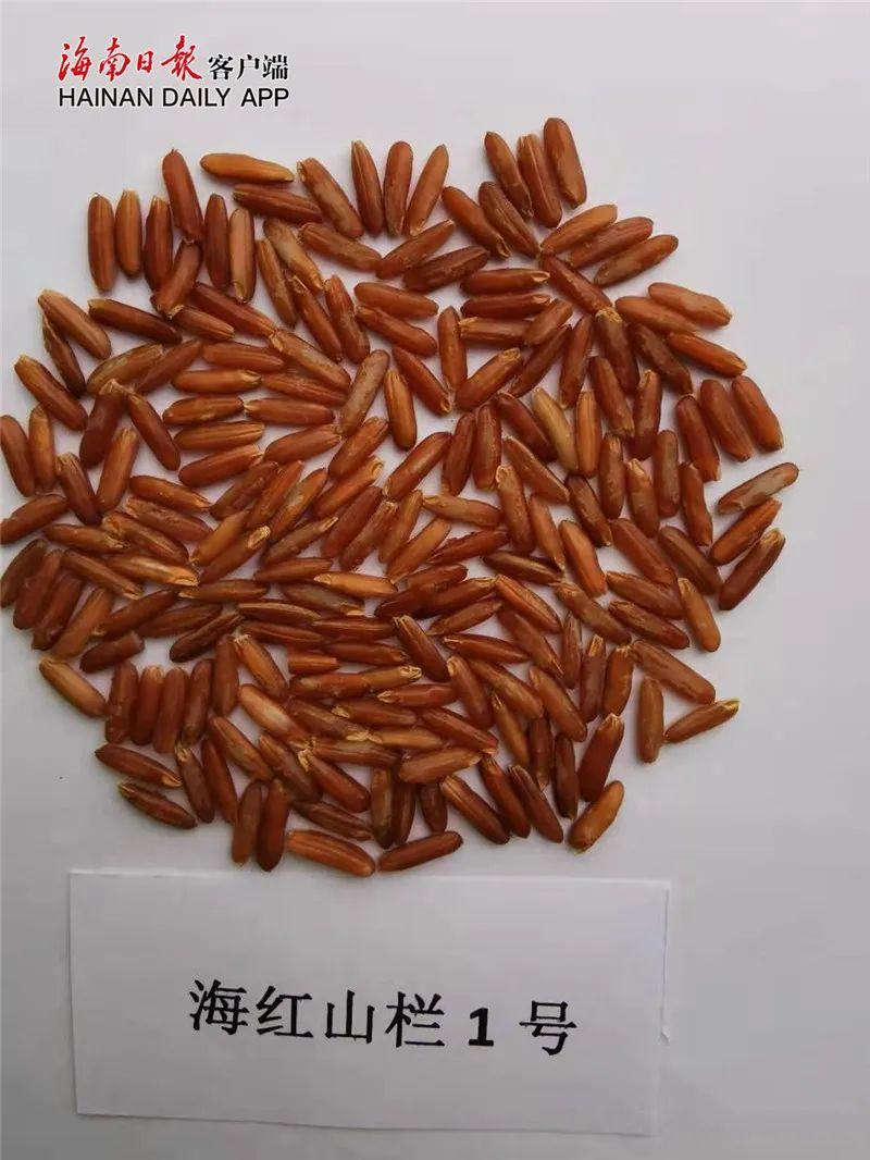 省农科院近年新收集海南农作物种质资源1099份