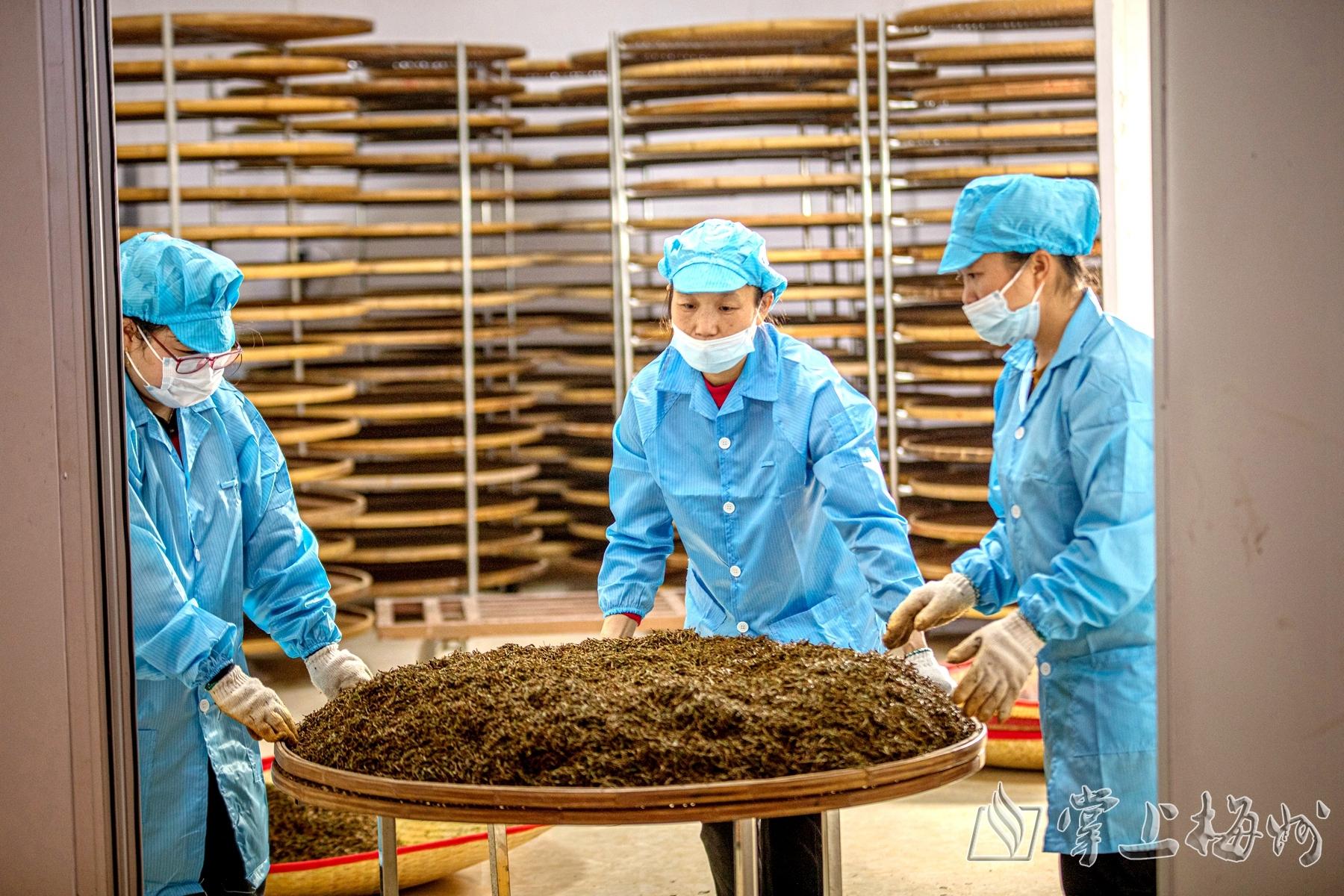 ↑在威华御欣茗茶业有限公司生产基地,工人们正在把茶叶送进发酵房发酵。(公司供图)