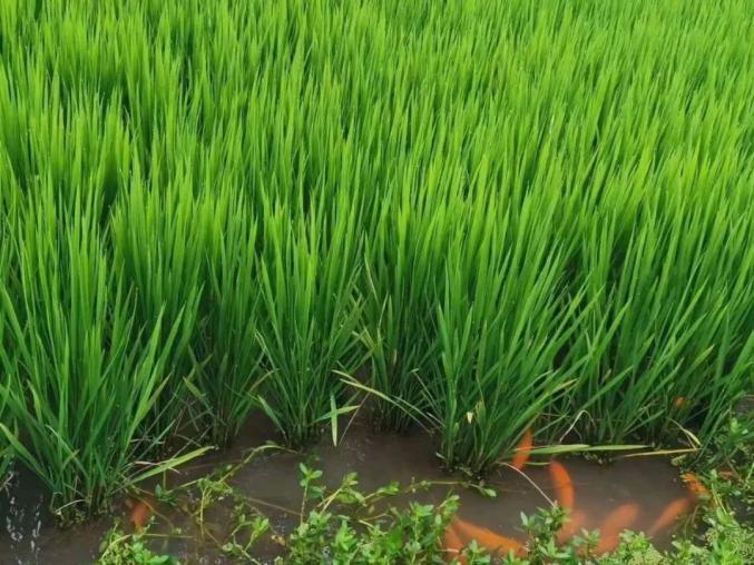 稻鱼共生,让生态绿色可循环成为现实