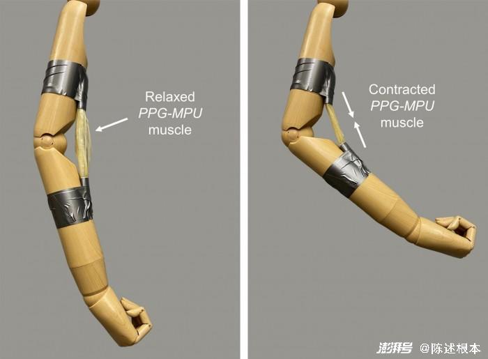 斯坦福大学开发出高能形状记忆聚合物为机器人打造有力肌肉