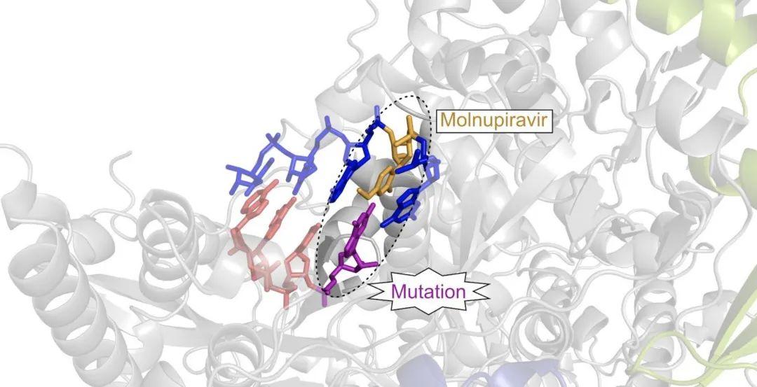//抗病毒药物候选药物Molnupiravi(黄色)被整合到病毒 RNA 中,在那里它导致突变(紫色),最终阻止病毒复制。Florian Kabinger、Christian Dienemann 和 Patrick Cramer / 马克斯普朗克生物物理化学研究所