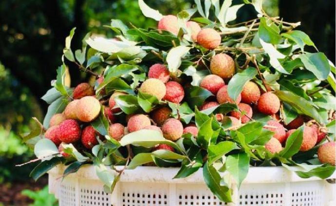 全球每五颗荔枝就有一颗产自茂名,政府如何帮果农销售