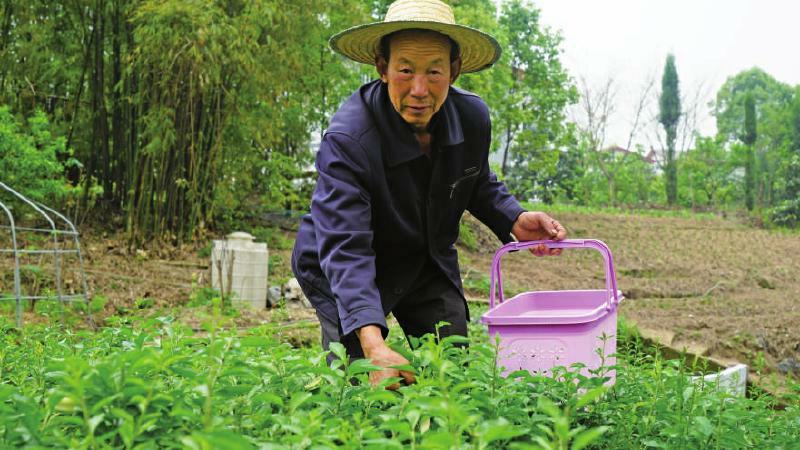 村民正在采摘枸杞芽菜。