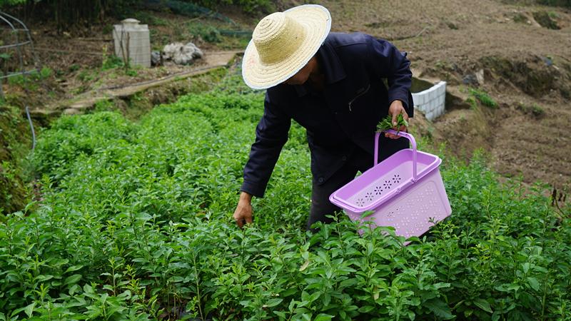 西彭镇新民村,村民正在采摘枸杞芽菜 。