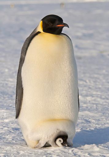 南极大陆毛德皇后地的帝企鹅