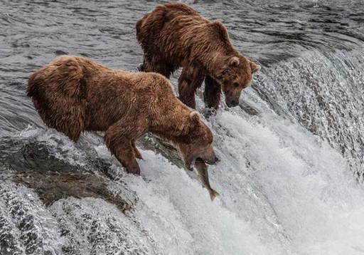 阿拉斯加卡特迈国家公园的棕熊抓鱼