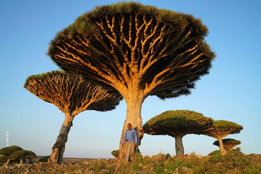 也门索科特拉岛上的龙血树是该岛独有的树种