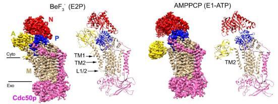 李龙组解析重建于脂双层中磷脂翻转酶的高分辨率电镜结构