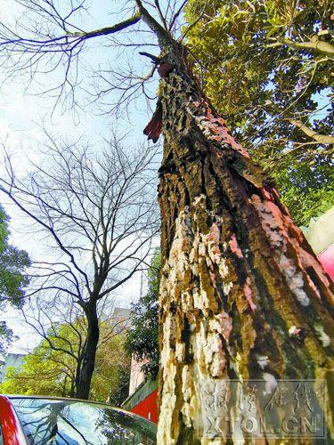 白色的霉菌布满樟树树干上。(记者陈旭东 摄)
