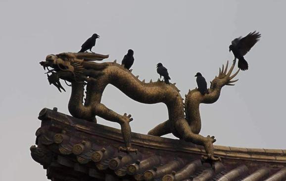 晚上住满了黑乌鸦,为啥北京乌鸦最多的地方在故宫_湃客_澎湃新闻-ThePaper