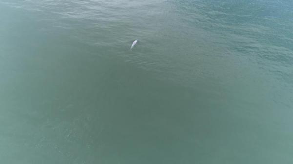 拍摄成果:一头老年中华白海豚