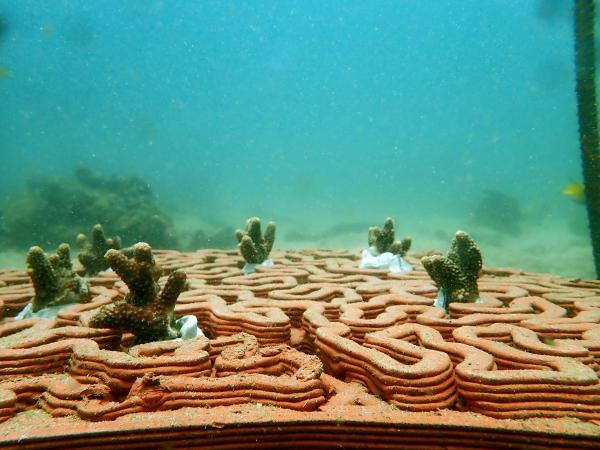 珊瑚礁盘提供结构复杂的基础供珊瑚碎片附着生长,提高存活的机会。(图片鸣谢: Vriko Yu)
