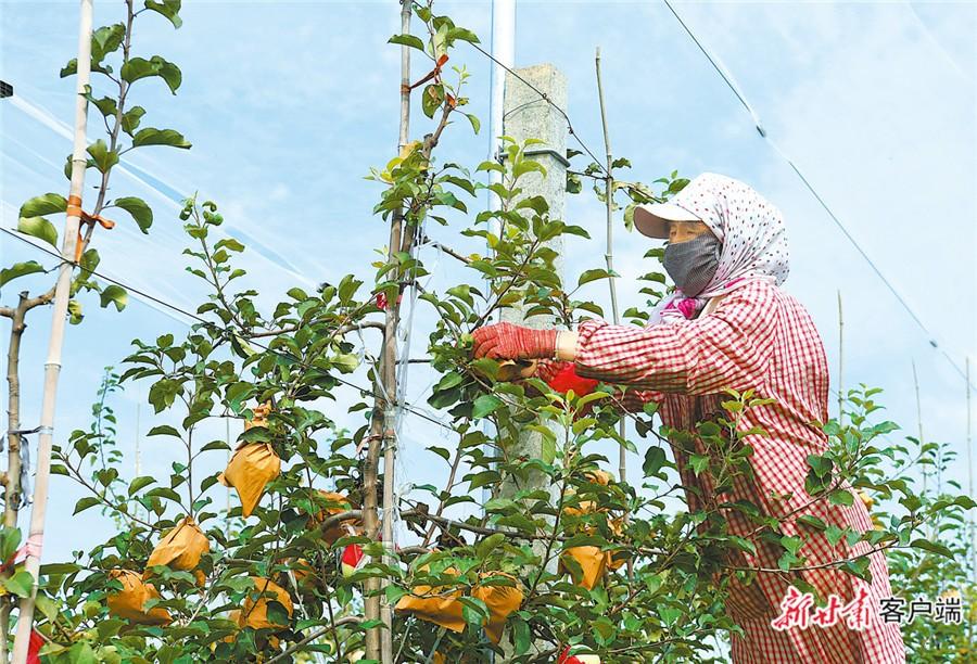 秋天来了!已经摘掉套袋的苹果挂满枝头,沐浴着初秋温和的阳光。