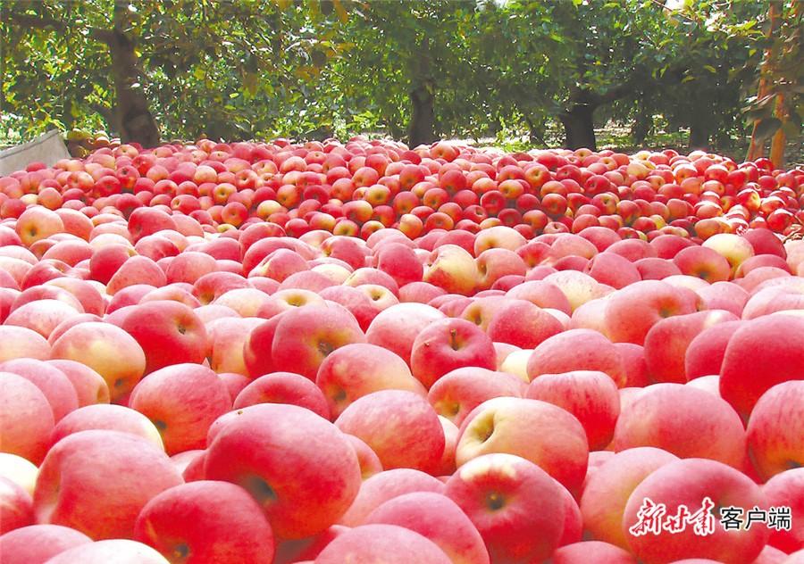 静宁大力发展苹果产业,带动群众脱贫增收。(本版图片均由新甘肃·甘肃日报记者张铁梁摄)
