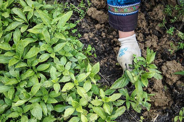 2020年3月10日,贵州省三都水族自治县种植户移栽南板蓝根苗。图|中新社
