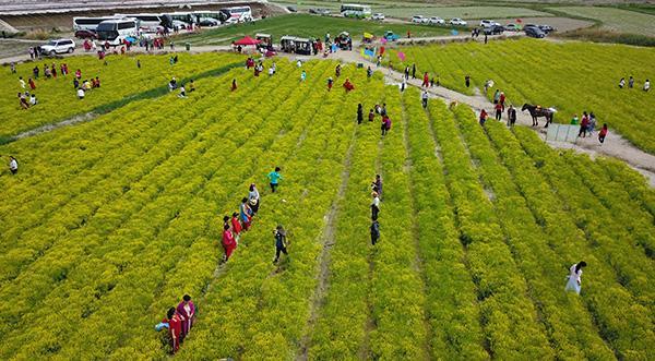 2020年5月5日,新疆焉耆回族自治县中药材基地种植的板蓝根正值花期,吸引大量游客。图 IC photo
