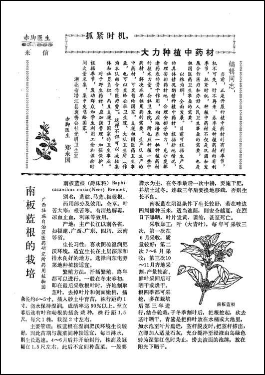 《赤脚医生杂志》1975年第1期刊载有关种植板蓝根的文章。