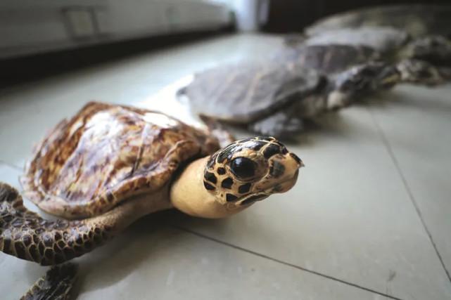 江苏警方此次查获、解救涉案濒危野生保护动物海龟 300 余只。(摄/方圆记者 张哲)
